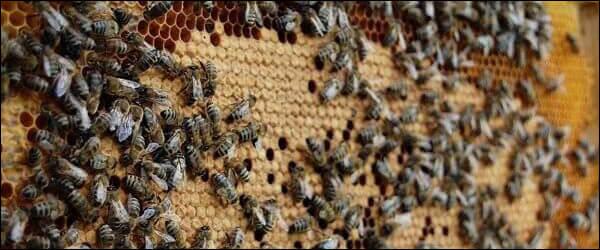 Американский гнилец у пчел