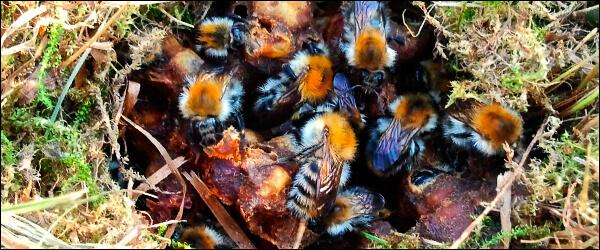 Гнездо земляных пчел в грунте