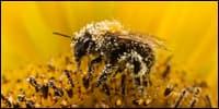опыление пчёлами