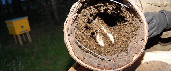 пересаживаем рой из ловушки