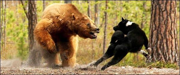 собаки защищают от медведей