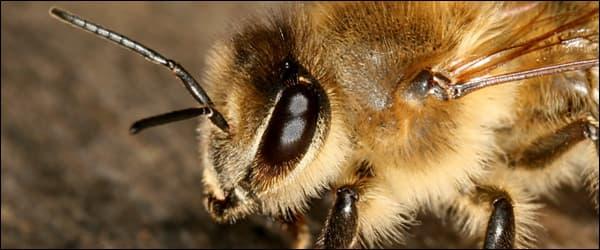 Механизм зрения пчелы