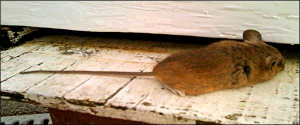 борьба с мышами на пасеке