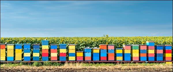 пчёл вывозим к опыляемым полям
