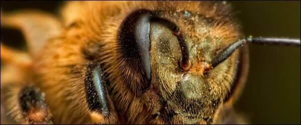 Особенности глаз пчелы