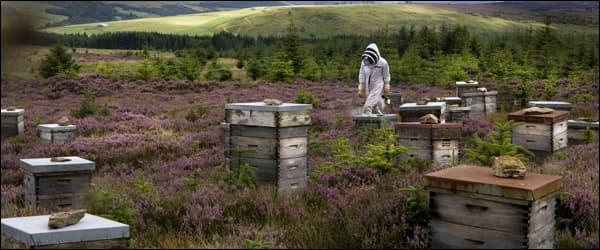 пчеловод собирает вересковый мед