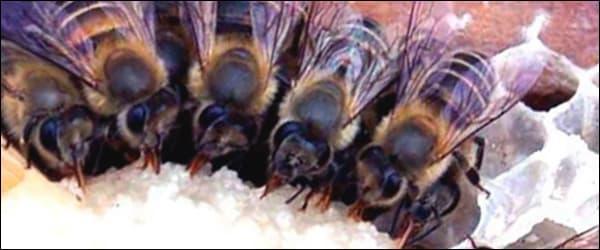 Пчелы на снегу зимой