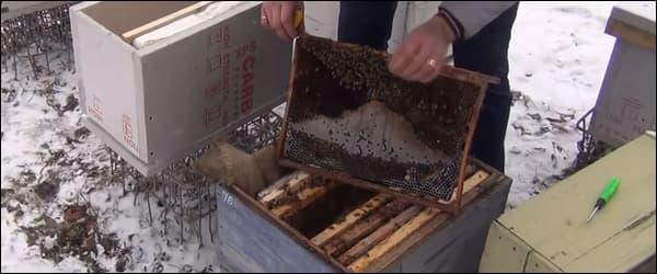 Пчелы зимой на улице