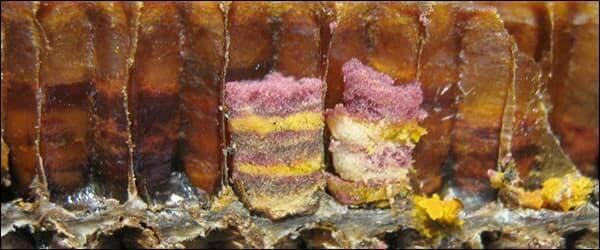 пчелиный хлеб большое фото