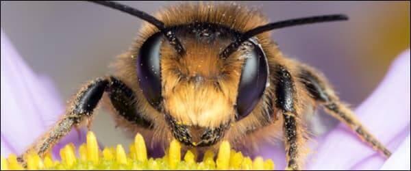 Сколько глаз у пчелы