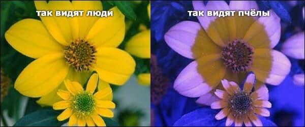 Так цветы видят пчелы