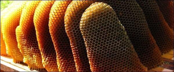 Так отстроили соты пчелы