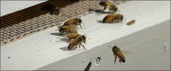 Ученые бьют тревогу популяция пчёл сокращается