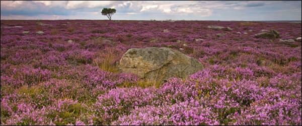 вереск цветущий в полях