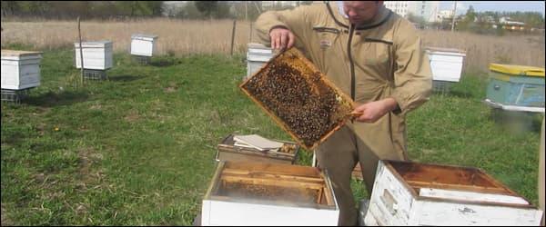 пересадка пчел весной при работе на пасеке