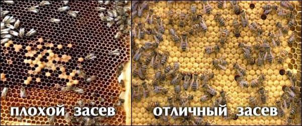 качество засева пчелиной маткой весной на пасеке