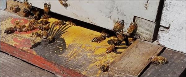 воровство у пчел на пасеке
