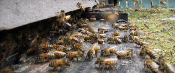 напад пчел воровство на пасеке