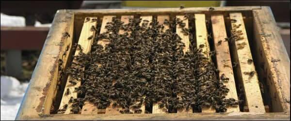 зимний клуб пчёл на рамках