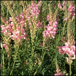 Семена эспарцета (50 г.) фото